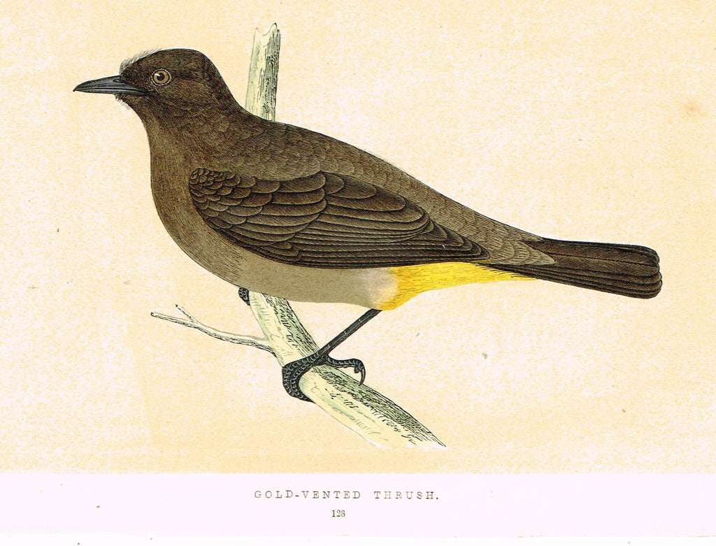 "Morris's Birds - ""GOLD VENTED THRUSH"" - Hand Colored Wood Engraving - 1895"