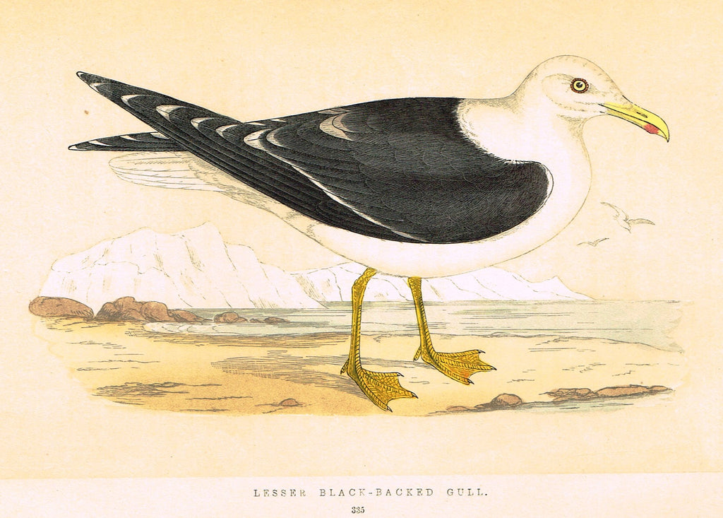 "Morris's Birds - ""LESSER BLACK-BACKED GULL"" - Hand Colored Wood Engraving - 1895"