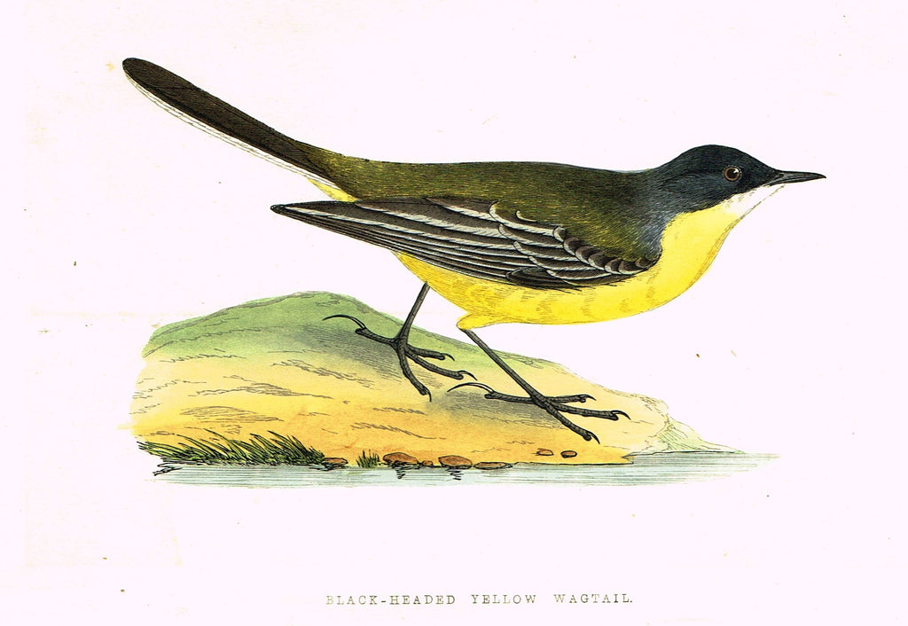 "Morris's Birds - ""BLACK-HEADED YELLOW WAGTAIL"" - Hand Colored Wood Engraving - 1895"