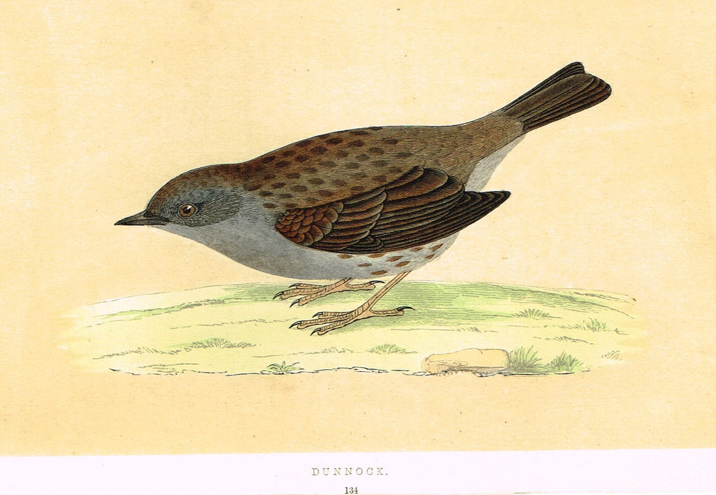 "Morris's Birds - ""DUNNOCK"" - Hand Colored Wood Engraving - 1895"
