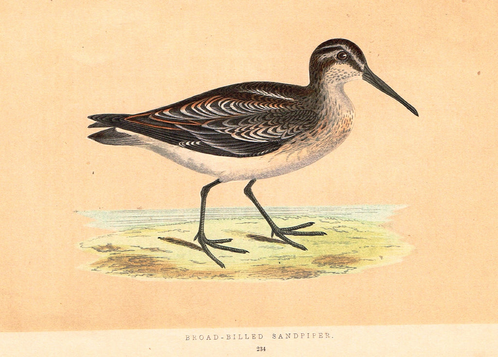 "Morris's Birds - ""BROAD-BILLED SANDPIPER"" - Hand Colored Wood Engraving - 1895"