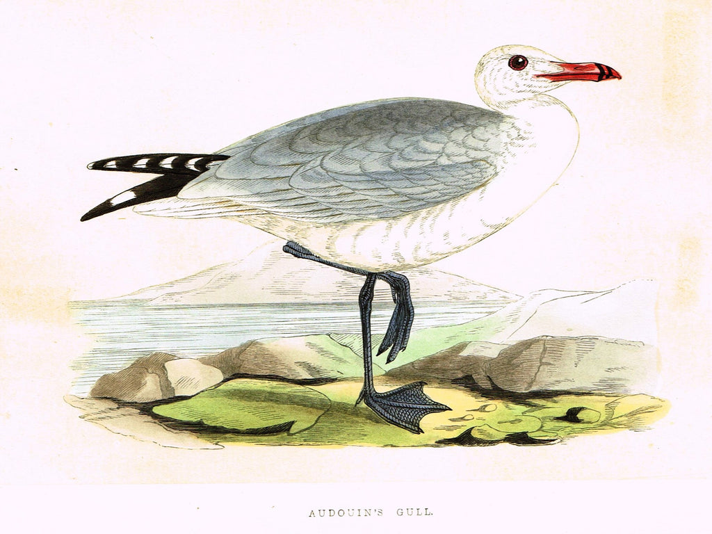 "Morris's Birds - ""AUDOUIN'S GULL"" - Hand Colored Wood Engraving - 1895"