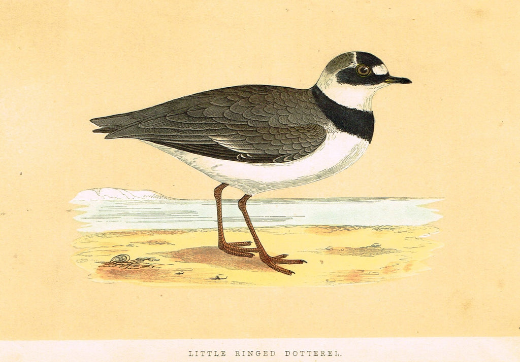 "Morris's Birds - ""LITTLE RINGED DOTTEREL"" - Hand Colored Wood Engraving - 1895"