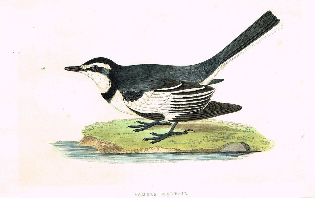 "Morris's Birds - ""SOMBRE WAGTAIL"" - Hand Colored Wood Engraving - 1895"