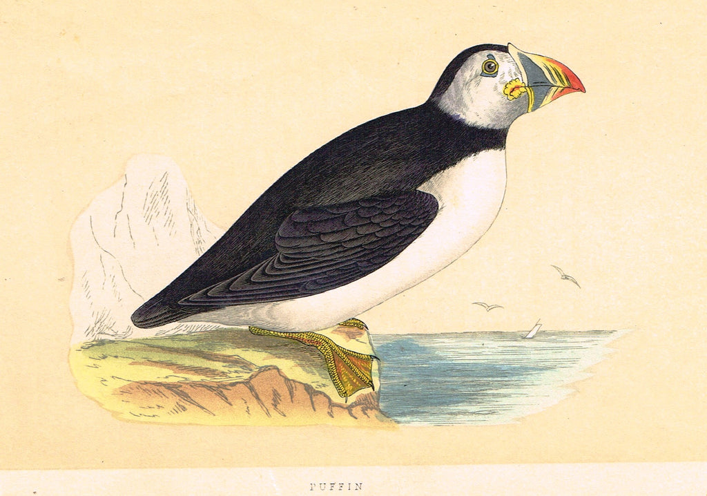 "Morris's Birds - ""PUFFIN"" - Hand Colored Wood Engraving - 1895"