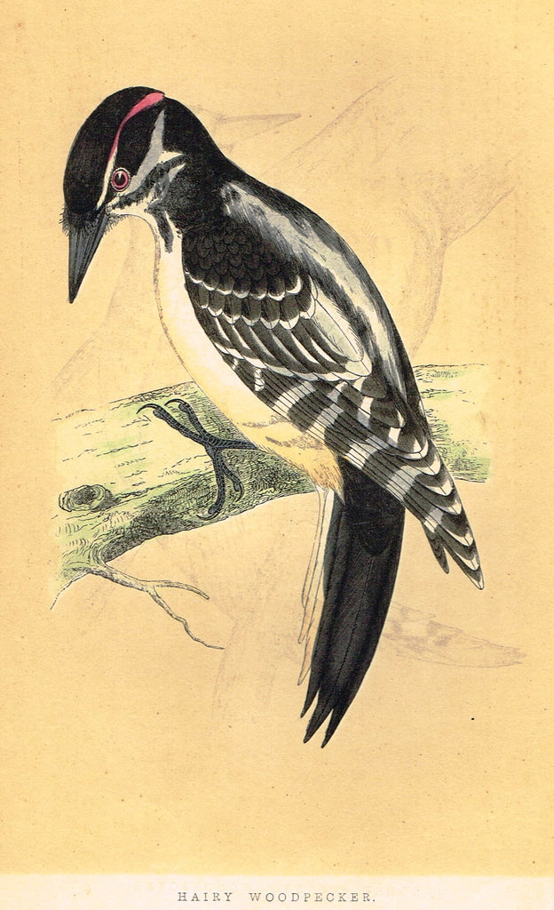 "Morris's Birds - ""HAIRY WOODPECKER"" - Hand Colored Wood Engraving - 1895"