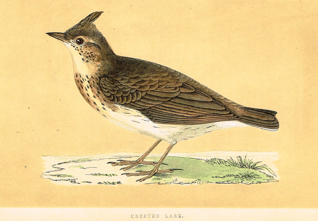 "Morris's Birds - ""CRESTED LARK"" - Hand Colored Wood Engraving - 1895"