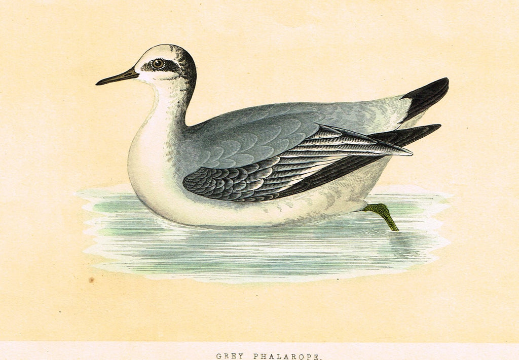"Morris's Birds - ""GREY PHALAROPE"" - Hand Colored Wood Engraving - 1895"