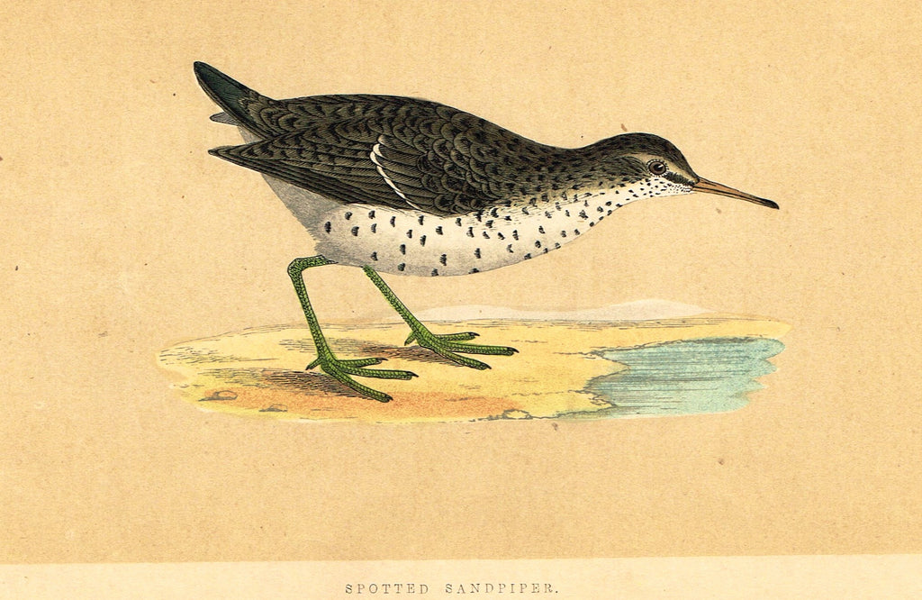 "Morris's Birds - ""SPOTTED SANDPIPER"" - Hand Colored Wood Engraving - 1855"