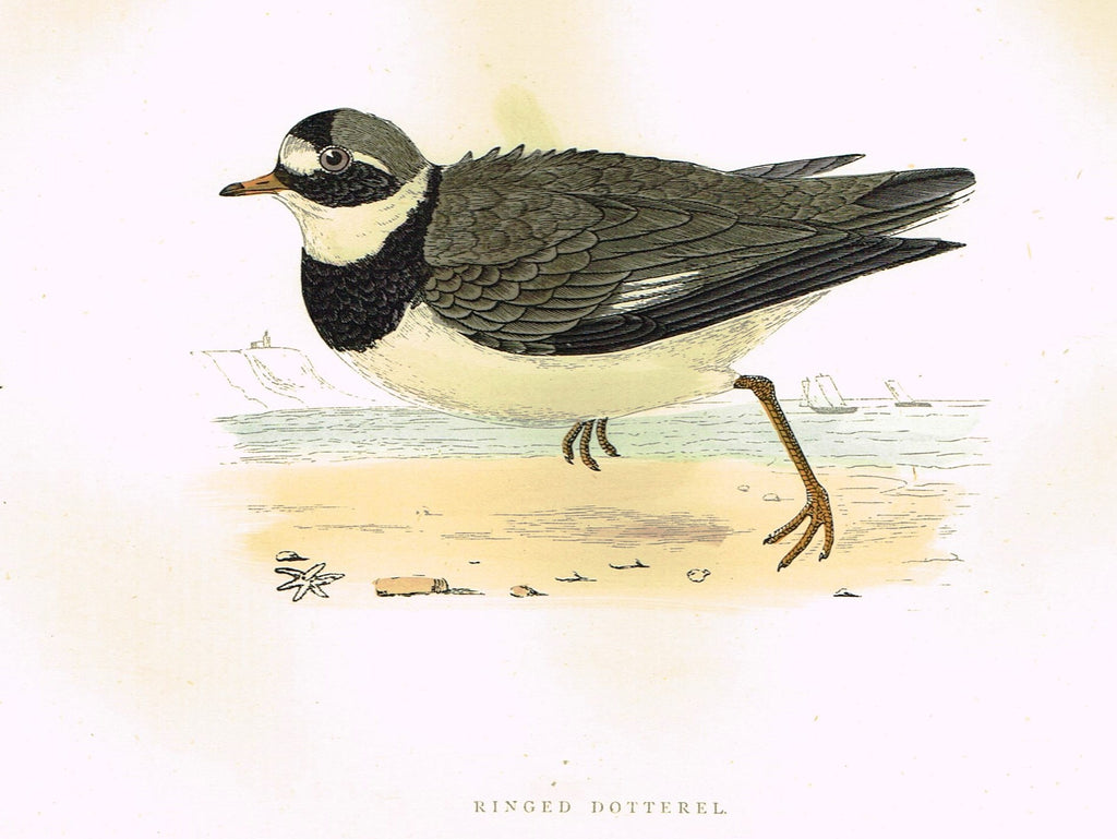 "Morris's Birds - ""RINGED DOTTERAL"" - Hand Colored Wood Engraving - 1895"