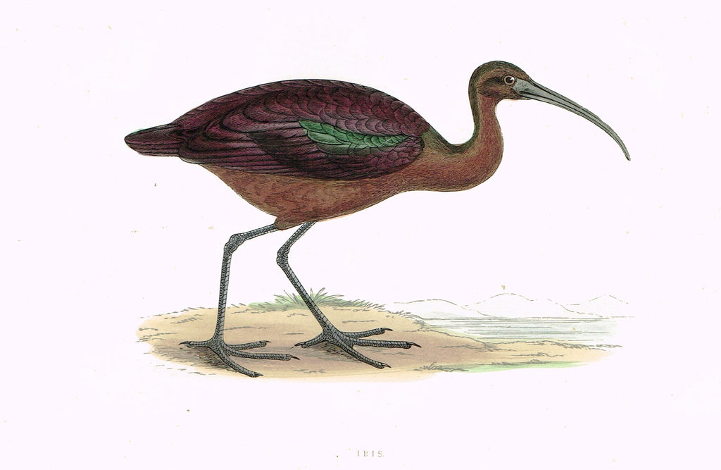 "Morris's Birds - ""IBIS"" - Hand Colored Wood Engraving - 1895"