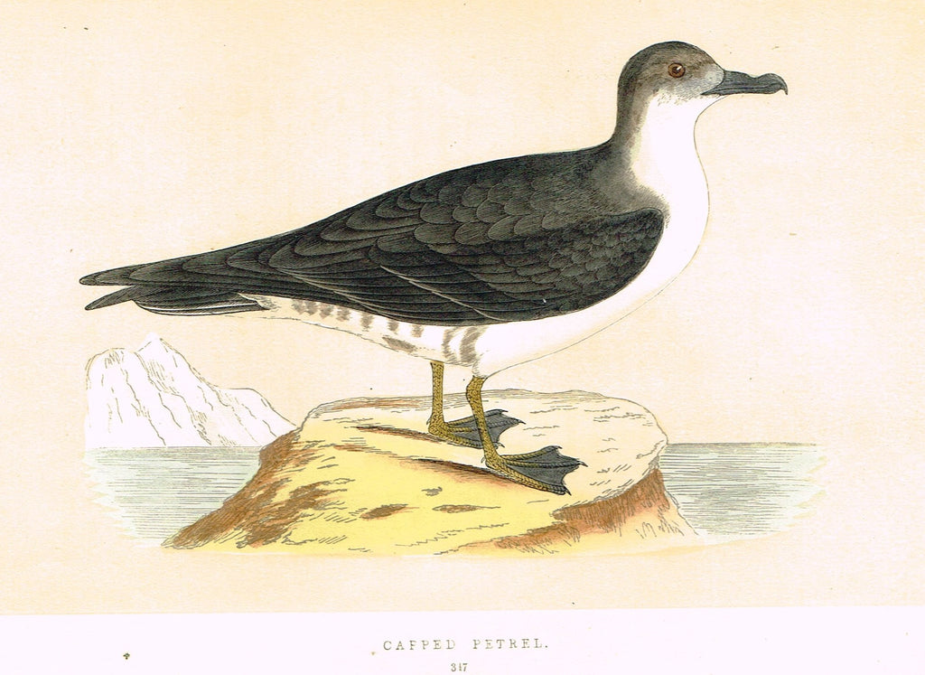 "Morris's Birds - ""CAPPED PETREL"" - Hand Colored Wood Engraving - 1895"