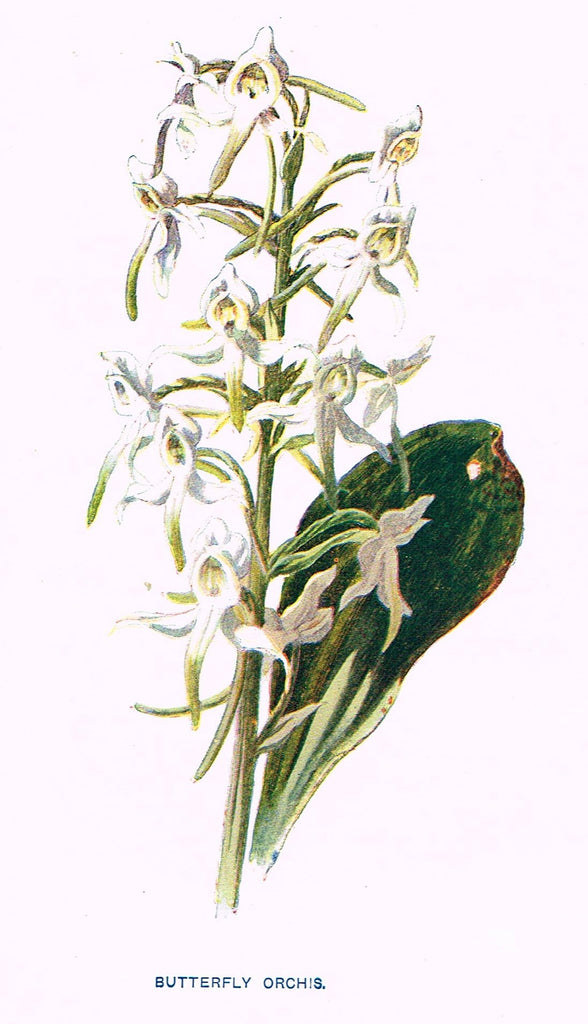 BUTTERFLY ORCHIS