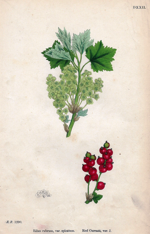 RED CURRANT VARIETY""