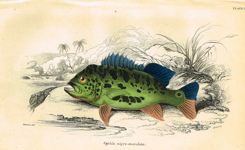 "Jardine's Fish - ""CYCHLA ARGUS"" - Plate 8 - Hand Colored Engraving - 1834"