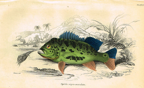 "Jardine's Fish - ""CYCHLA NIGRO-MACULATA"" - Plate 7 - Hand Colored Engraving - 1834"
