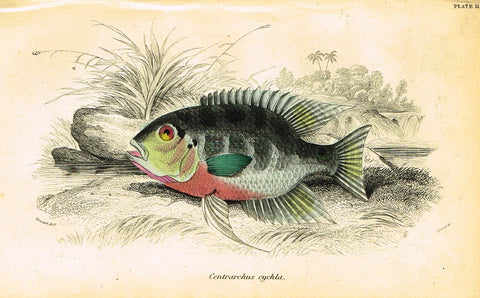 "Jardine's Fish - ""CENTRARCHUS CYCHLA"" - Plate 11 - Hand Colored Engraving - 1834"