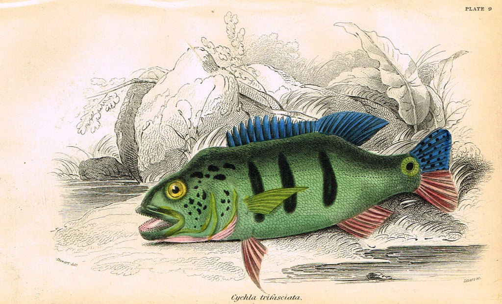 "Jardine's Fish - ""CYCHLA TRIFASCIATA"" - Plate 9 - Hand Colored Engraving - 1834"