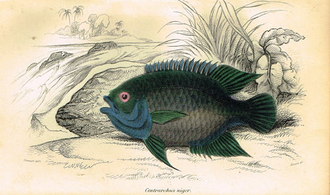 "Jardine's Fish - ""CENTRARCHUS NIGER"" - Plate 14 - Hand Colored Engraving - 1834"