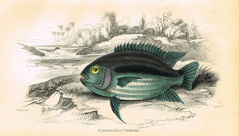 "Jardine's Fish - ""CENTRARCHUS VITTATUS"" - Plate 14 - Hand Colored Engraving - 1834"