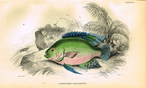 "Jardine's Fish - ""CENTRARCHUS CYANOPTERUS"" - Plate 16 - Hand Colored Engraving - 1834"