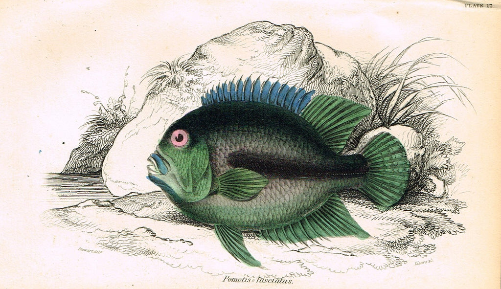 "Jardine's Fish - ""POMOTIS FASCIATUS"" - Plate 17 - Hand Colored Engraving - 1834"