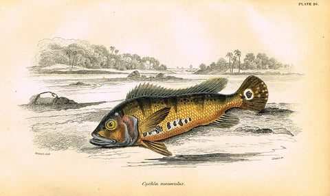"Jardine's Fish - ""CYCHIA MONOCULUS"" - Plate 26 - Hand Colored Engraving - 1834"