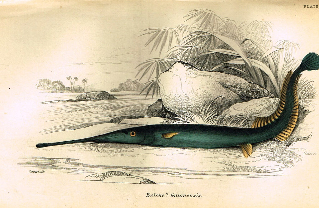 "Jardine's Fish - ""BELONE GUTIANENSIS"" - Plate 1 - Hand Colored Engraving - 1834"