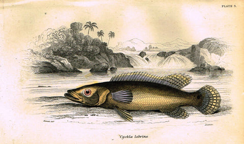 "Jardine's Fish - ""CYCHLA LABRINA"" - Plate 3 - Hand Colored Engraving - 1834"