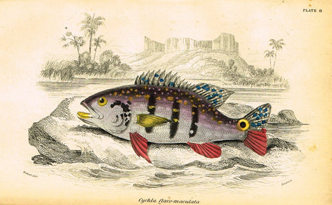 "Jardine's Fish - ""CYCHLA FLAVO-MACULATA"" - Plate 6 - Hand Colored Engraving - 1834"