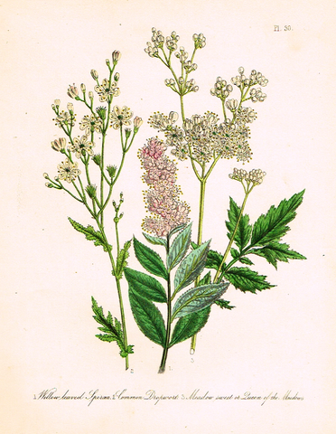 "Louden's  Wild Flowers - ""COMMON DROPWORT"" -  Hand Colored Lithograph - 1846"