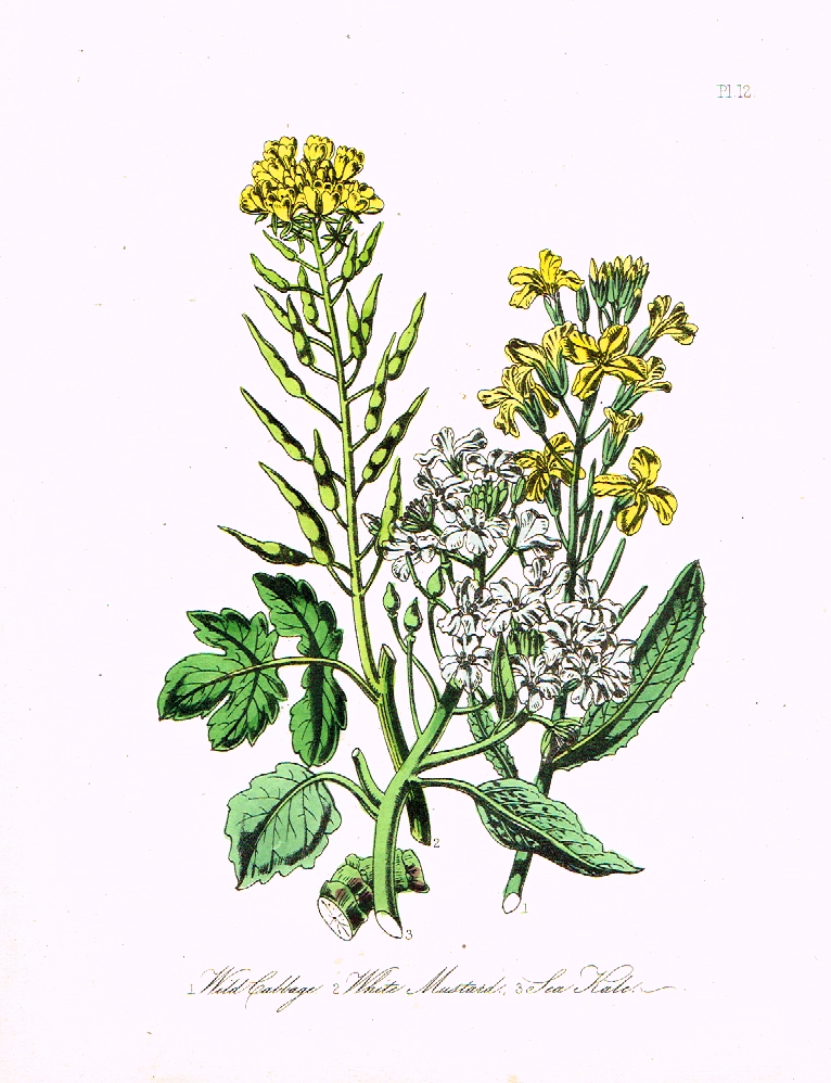 "Louden's  Wild Flowers - ""SEA KALE"" -  Hand Colored Lithograph - 1846"