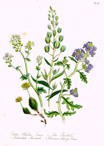 "Louden's  Wild Flowers - ""SCURVY GRASS"" -  Hand Colored Lithograph - 1846"