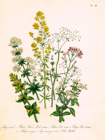 "Louden's  Wild Flowers - ""MUG WEED"" -  Hand Colored Lithograph - 1846"