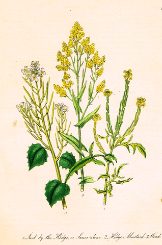 "Louden's  Wild Flowers - ""HEDGE MUSTARD"" -  Hand Colored Lithograph - 1846"