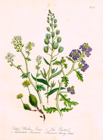 "Louden's  Wild Flowers - ""SEA ROCKET"" -  Hand Colored Lithograph - 1846"