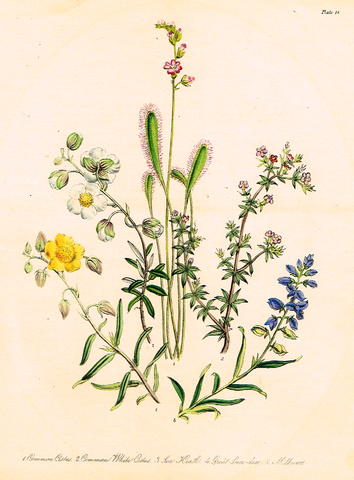 "Louden's  Wild Flowers - ""SEA HEATH & MILKWORTH"" -  Hand Colored Lithograph - 1846"