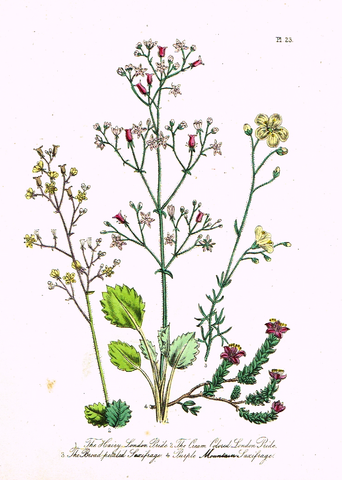 "Louden's  Wild Flowers - ""BROAD PETALED SAXIFRAGE"" -  Hand Colored Lithograph - 1846"
