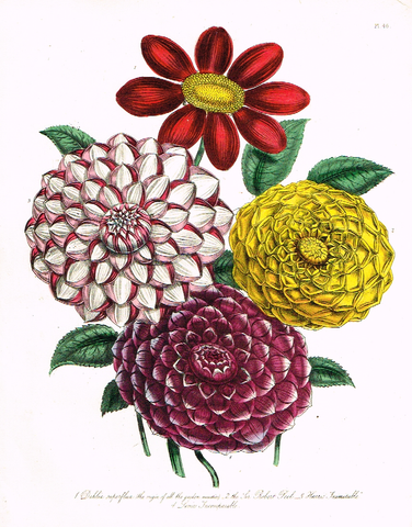 "Louden's  Wild Flowers - ""DAHLIA SUPERFLUA"" -  Hand Colored Lithograph - 1846"