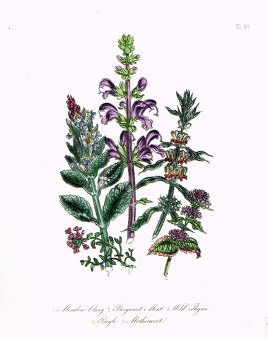 "Louden's  Wild Flowers - ""MEADOW CLARY"" -  Hand Colored Lithograph - 1846"