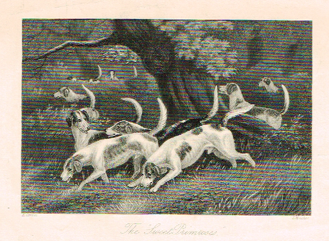 "Sporting Magazine - ""THE SWEET PRIMROSES""  (FOX HUNTING) - Engraving - c1865"