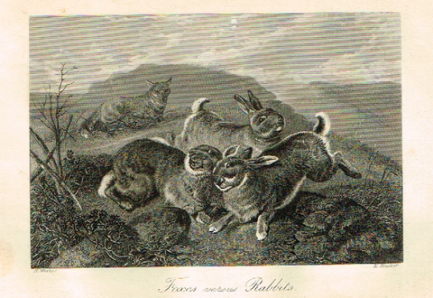 "Sporting Magazine - ""FOXES VERSUS RABBITS""  (HUNTING) - Engraving - c1865"