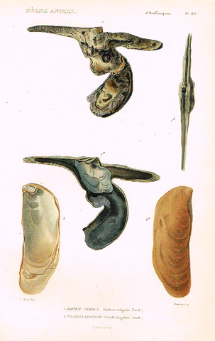 "Cuvier's Mollusks - ""MARTEAU COMMUN"" - Plate 82 - Hand Col'd Engraving - 1830"