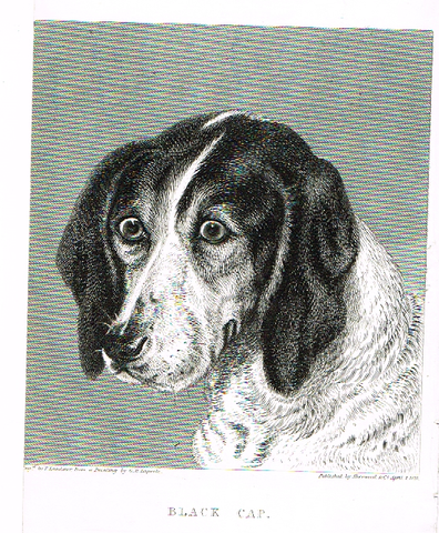 "Landseer's Dogs - ""BLACK CAP"" - Copper Engraving - 1828"