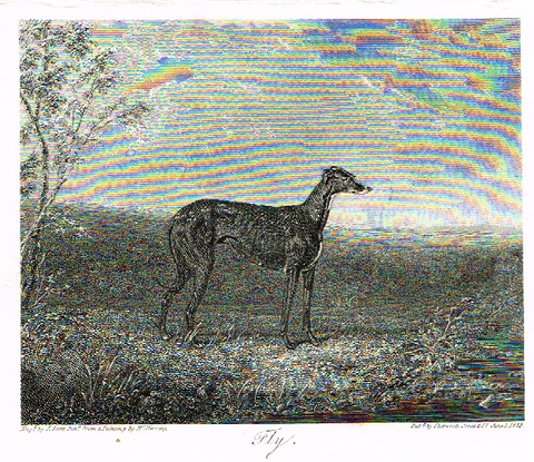 "Landseer's Dogs - ""FLY"" Greyhound - Copper Engraving - 1825"