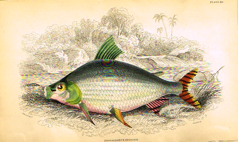 "Jardine's Fish - ""PROCHILODUS INSIGNIS"" - Plate 30 - Hand Colored Engraving - 1834"