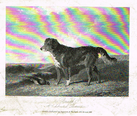 "Sporting Magazine - ""BRUSH, A CELEGRATED RETRIEVER"" - Engraving - c1865"