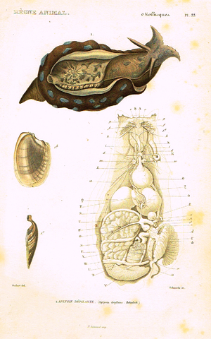 "Cuvier's Mollusks - ""APLYSIE DEPILANTE"" - Plate 33 - Hand Col'd Engraving - 1830"