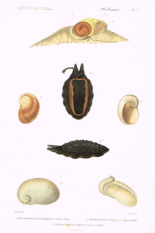 "Cuvier's Mollusks - ""CRYPTOSTOME ZONAL"" - Plate 49 - Hand Col'd Engraving - 1830"