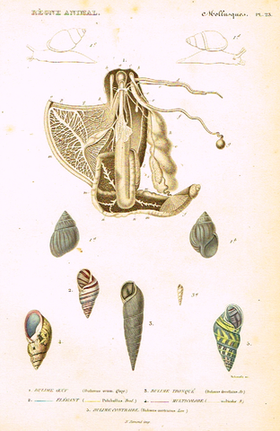 "Cuvier's Mollusks - ""BULIME OEUE"" - Plate 23 - Hand Col'd Engraving - 1830"